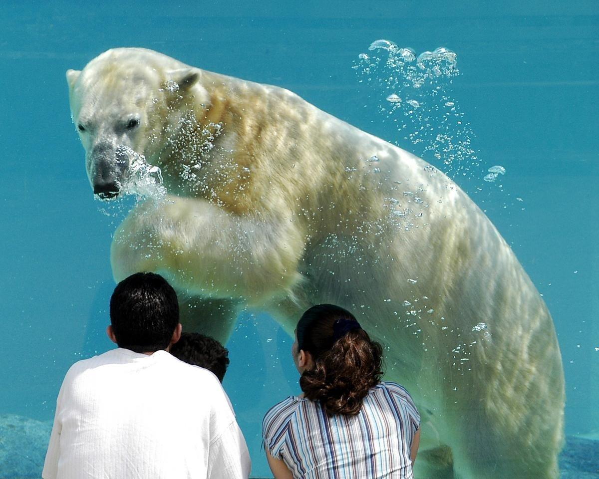 Budget water bear polar bear polar mammal vertebrate biology Ocean marine mammal Sea swimming arctic