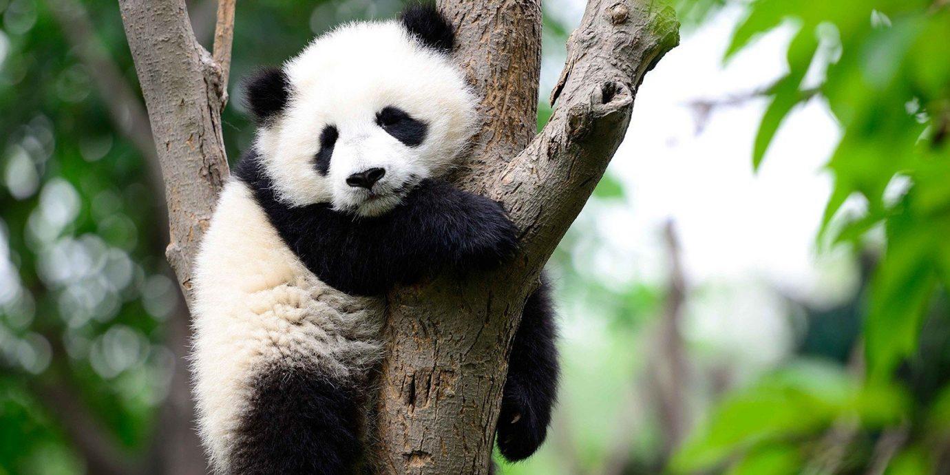 Budget tree animal outdoor giant panda mammal vertebrate Wildlife fauna zoo bear branch