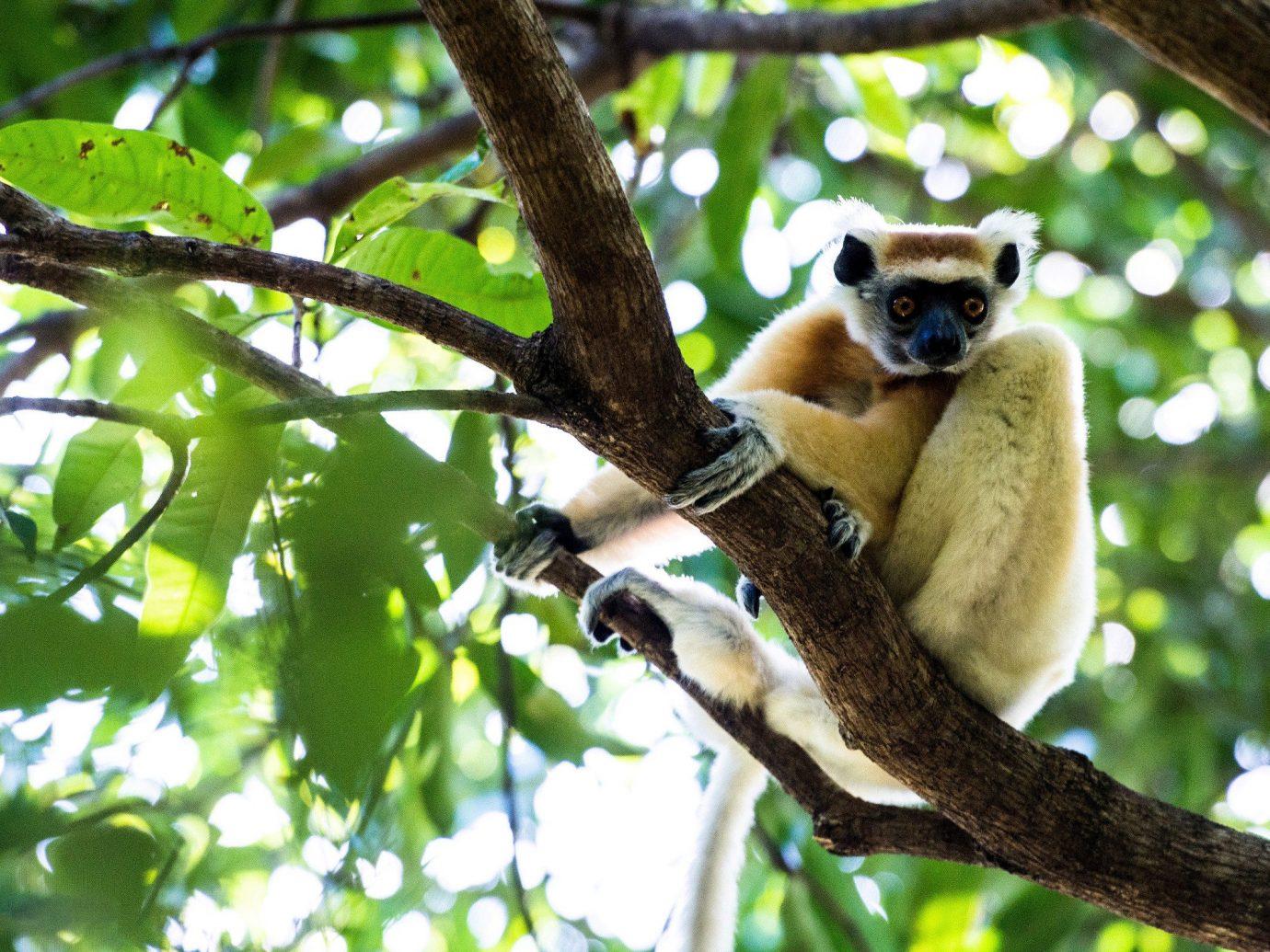 Trip Ideas tree mammal outdoor animal primate sitting fauna branch leaf lemur Wildlife Jungle perched organism new world monkey terrestrial animal indri rainforest gibbon snout old world monkey Forest