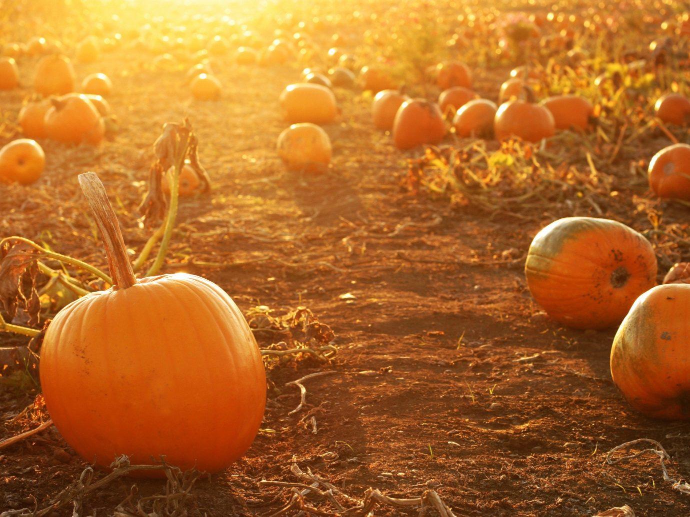 Trip Ideas outdoor pumpkin macro photography plant autumn season morning produce leaf sunlight flower food