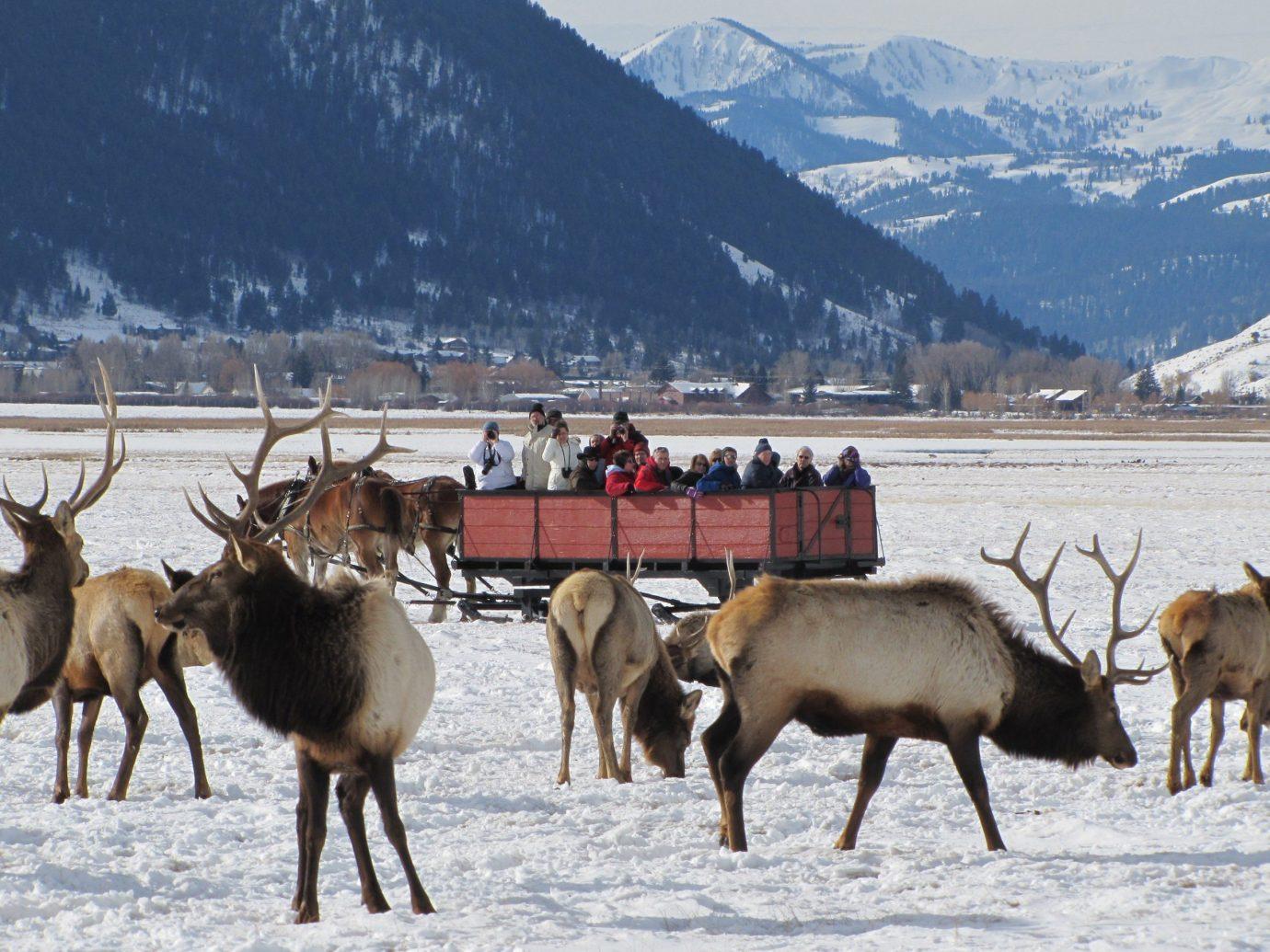 Offbeat Trip Ideas mountain outdoor ground mammal animal deer snow elk Winter herd Wildlife reindeer season group pack animal tundra cattle