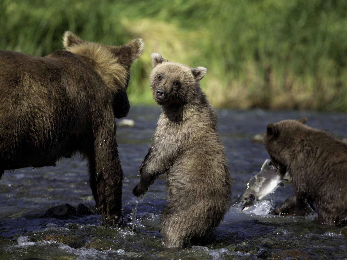 Trip Ideas water grass outdoor brown bear animal grizzly bear mammal vertebrate bear Wildlife fauna River brown zoo