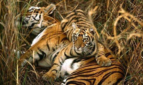 Trip Ideas outdoor grass tiger animal mammal vertebrate Wildlife fauna big cat big cats cat like mammal savanna Jungle