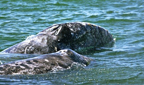 Outdoors + Adventure Scuba Diving + Snorkeling water outdoor animal mammal vertebrate marine biology marine mammal fauna harbor seal Wildlife grey whale Sea whales dolphins and porpoises
