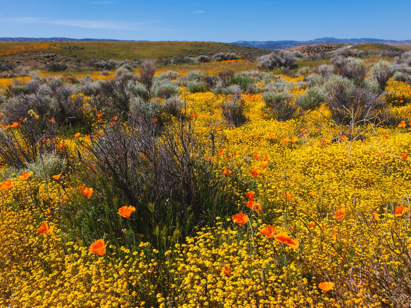 Poppy Reserve in Antelope Valley, California