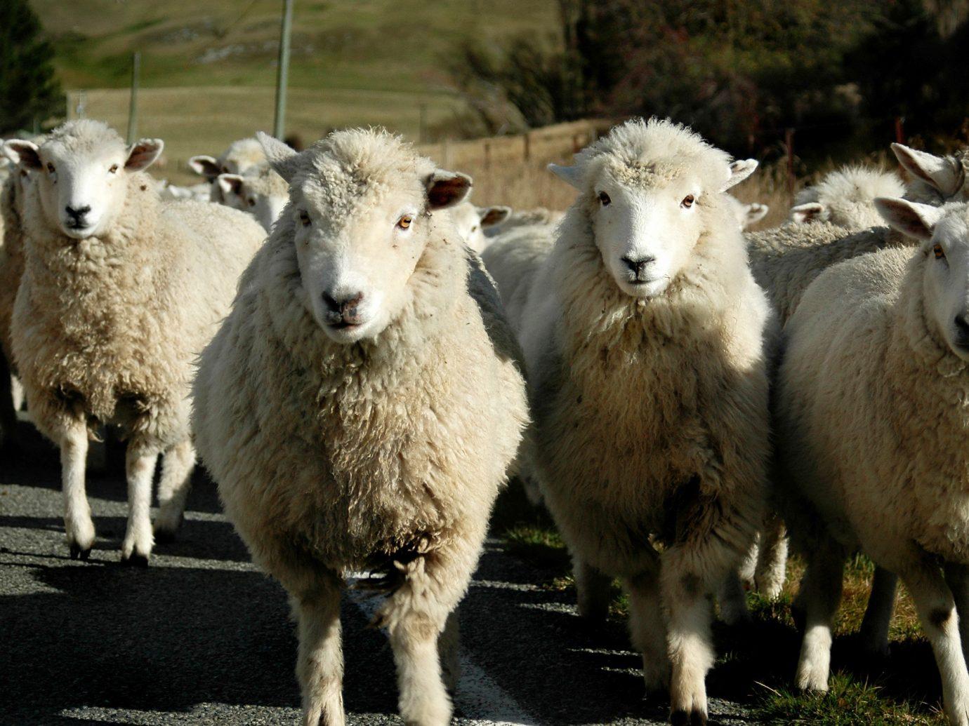 Style + Design sheep standing outdoor grass mammal animal vertebrate sheeps looking fauna field pasture herd staring
