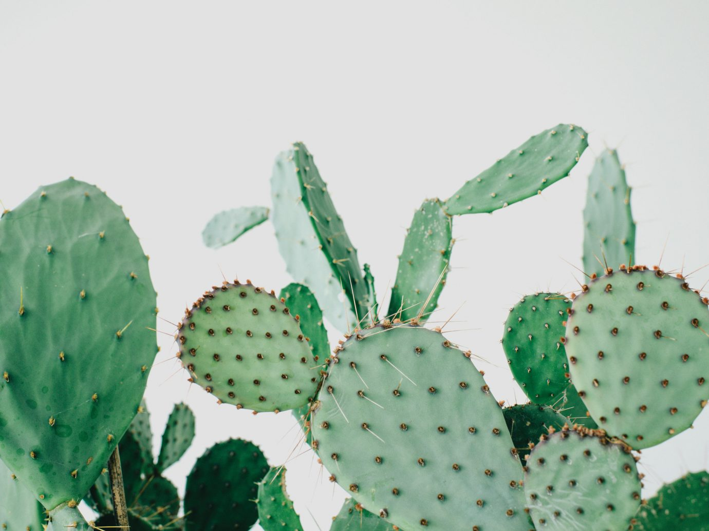 Offbeat Style + Design Travel Trends cactus indoor plant barbary fig nopal prickly pear flowering plant eastern prickly pear nopalito thorns spines and prickles caryophyllales decorated plant stem