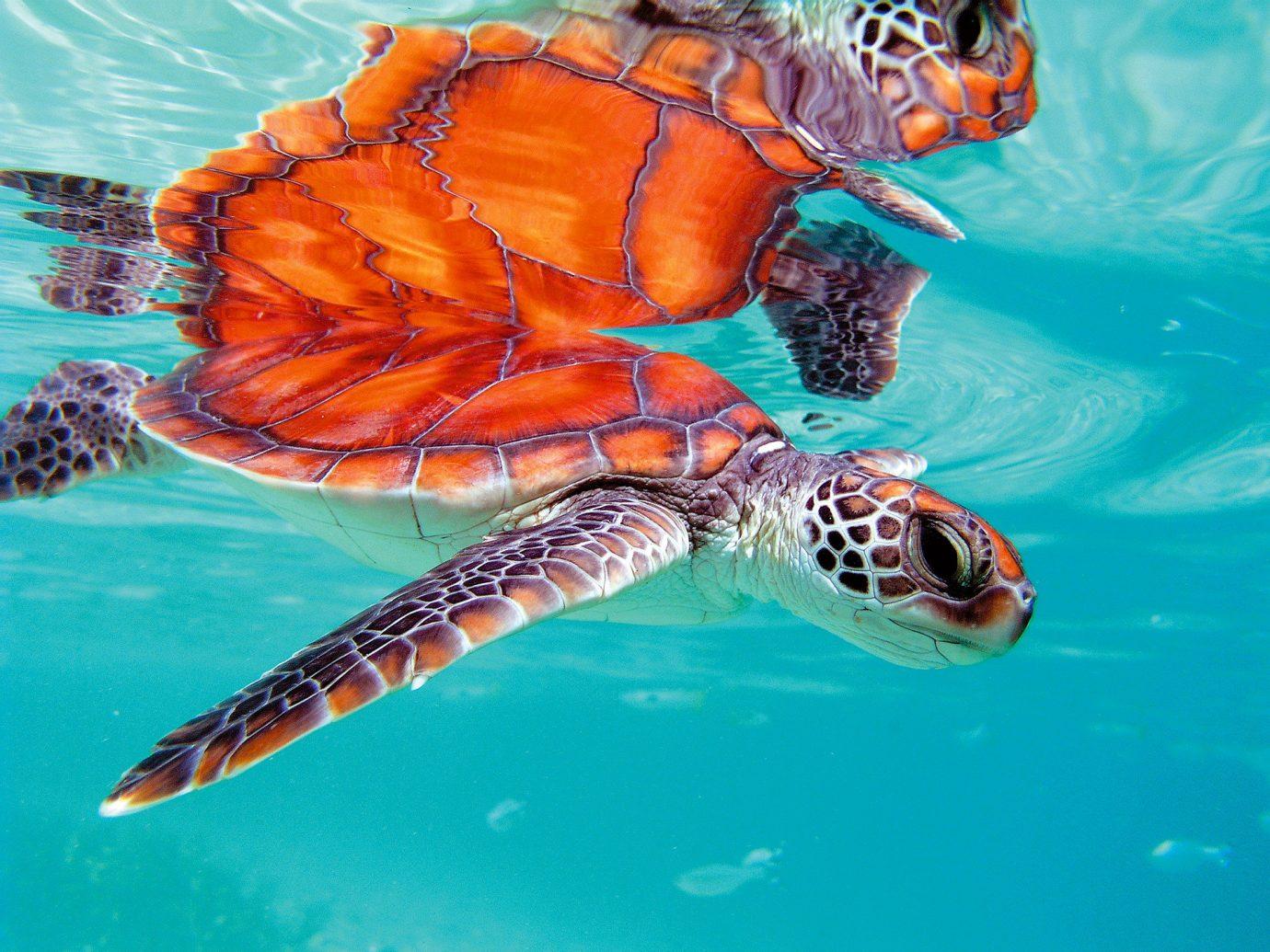 turtle swimming near The Brando, French Polynesia
