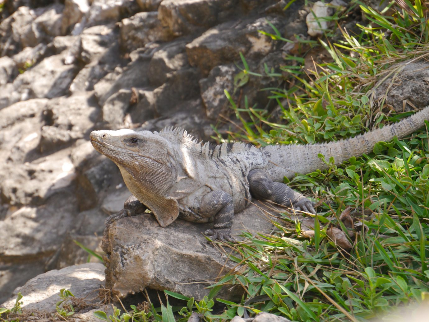 City Mexico Trip Ideas Tulum animal outdoor rock reptile iguana fauna scaled reptile iguania lizard alligator organism crocodilia grass tree american alligator terrestrial animal agamidae crocodile trunk