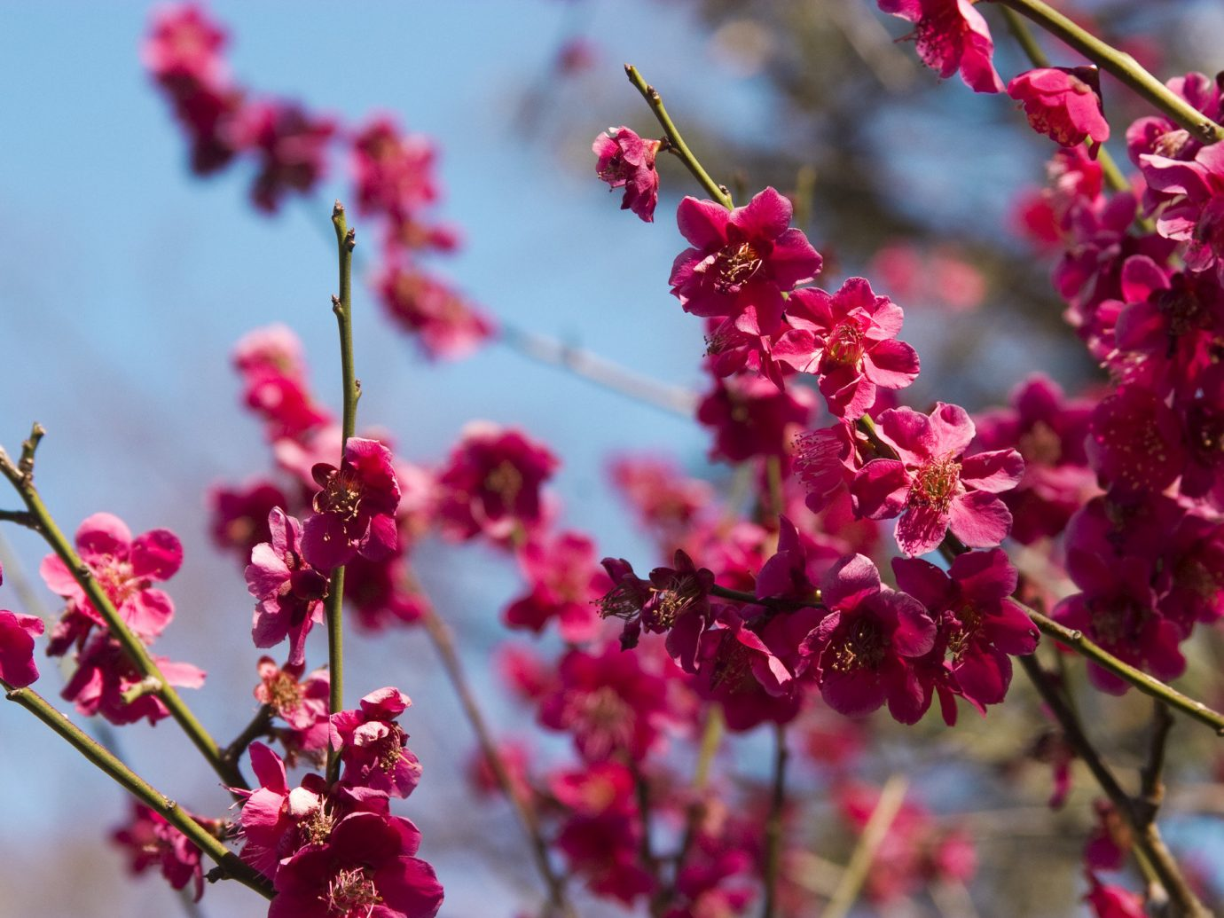 Trip Ideas flower red blossom plant flora outdoor tree branch botany produce fruit pink spring land plant food cherry bouquet leaf petal shrub macro photography flowering plant colorful close colored