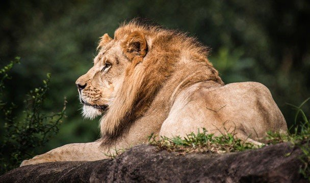 Jetsetter Guides big cat animal mammal outdoor Lion tree vertebrate Wildlife brown fauna big cats cat like mammal masai lion mane laying zoo Safari savanna