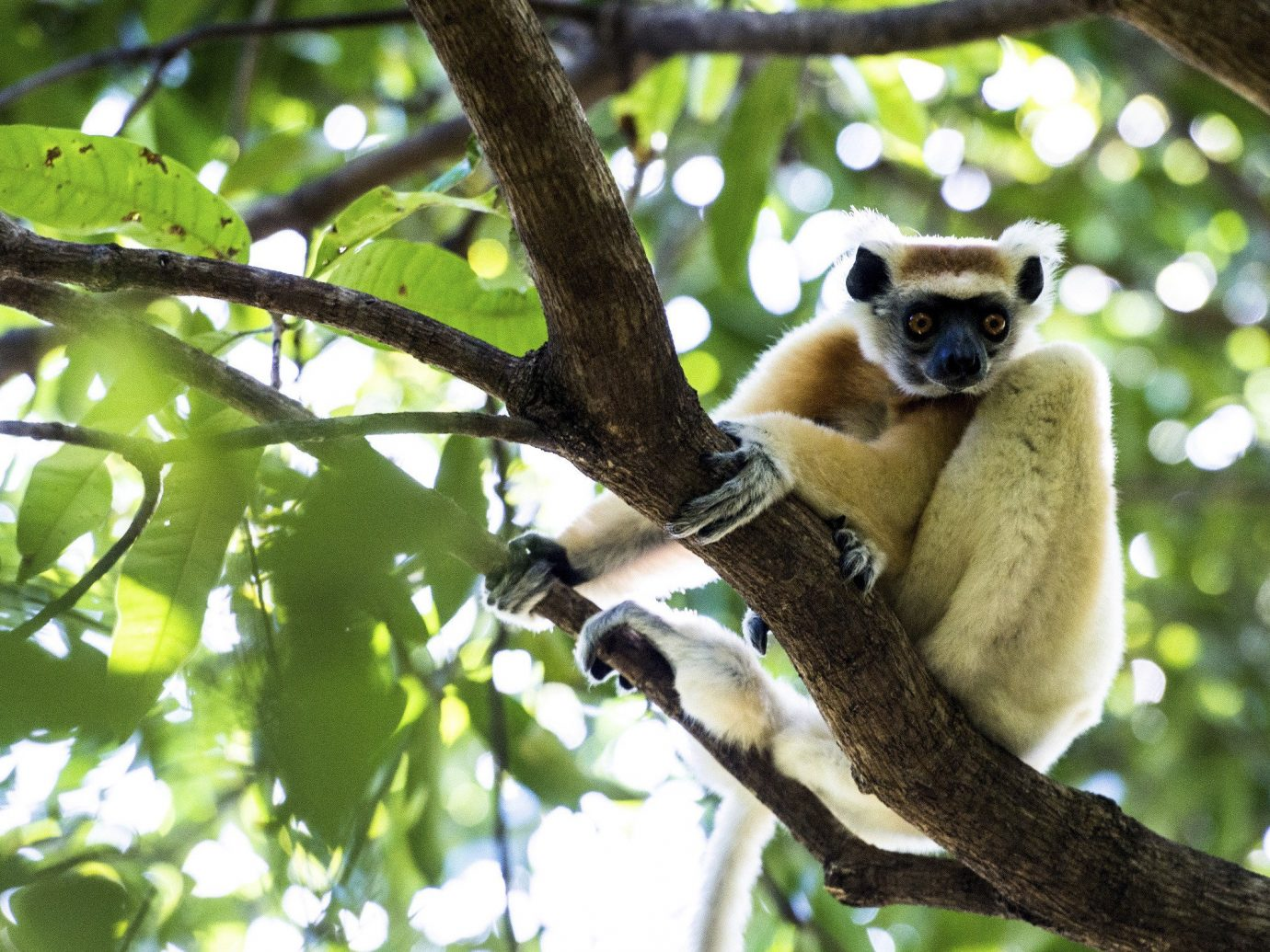 Outdoors + Adventure Travel Tips tree outdoor animal mammal branch primate sitting fauna lemur leaf indri Wildlife perched Jungle organism terrestrial animal plant old world monkey snout procyonidae day