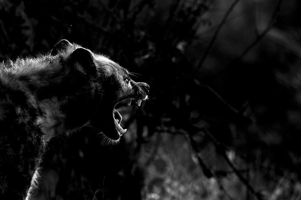 hyena Trip Ideas tree outdoor animal black and white black mammal standing darkness looking photography monochrome photography monochrome screenshot big cat staring