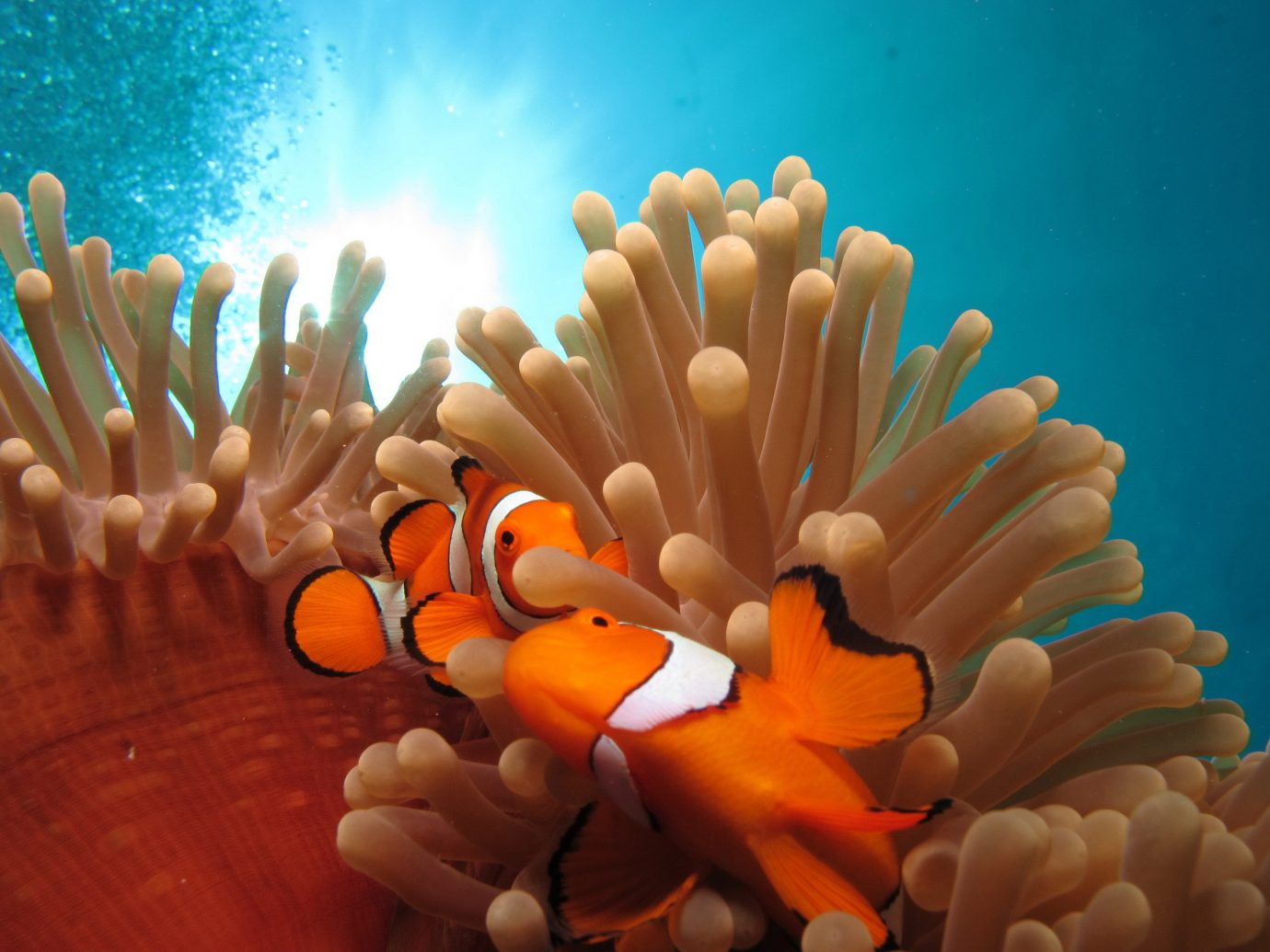 Trip Ideas indoor orange anemone fish marine biology pomacentridae sea anemone animal coral biology coral reef organism underwater coral reef fish decorated macro photography invertebrate marine invertebrates coelenterate reef fish cnidaria illustration