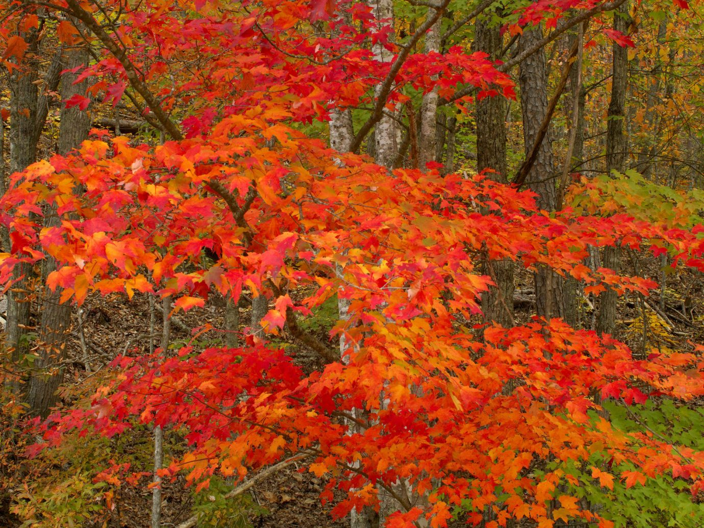 Outdoors + Adventure Road Trips Trip Ideas tree grass plant autumn vegetation leaf woody plant deciduous flora maple leaf flower maple tree temperate broadleaf and mixed forest shrub spring wildflower orange poppy branch woodland landscape flowering plant rhododendron colorful Forest maple colored lush