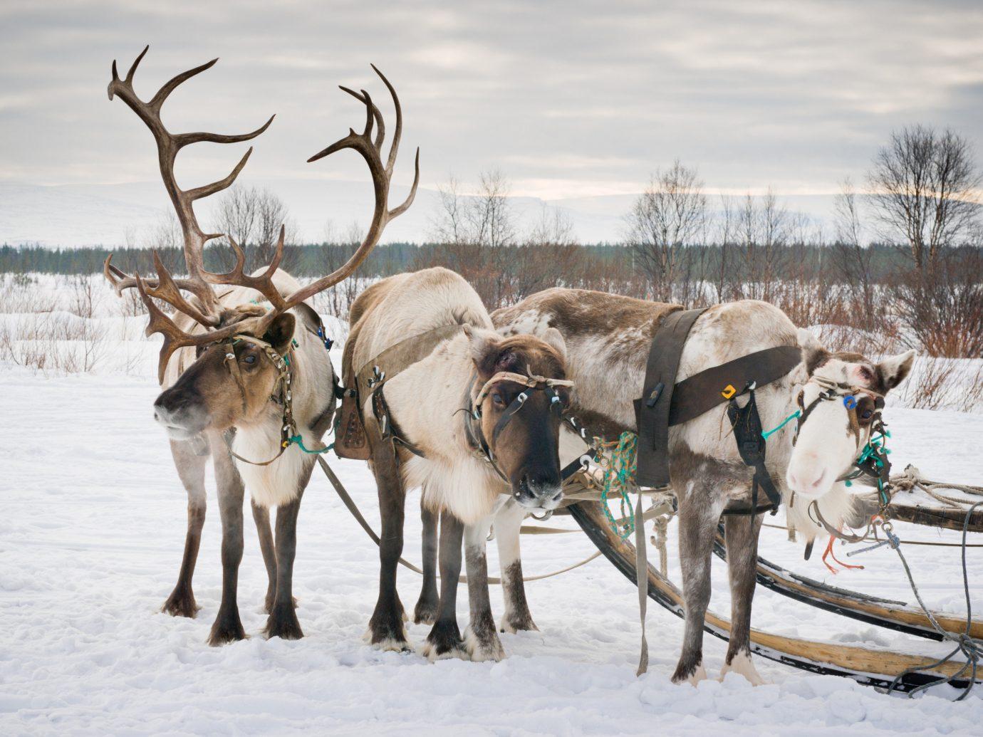 Norway Oslo Trip Ideas outdoor reindeer deer snow Winter Wildlife freezing tree mammal
