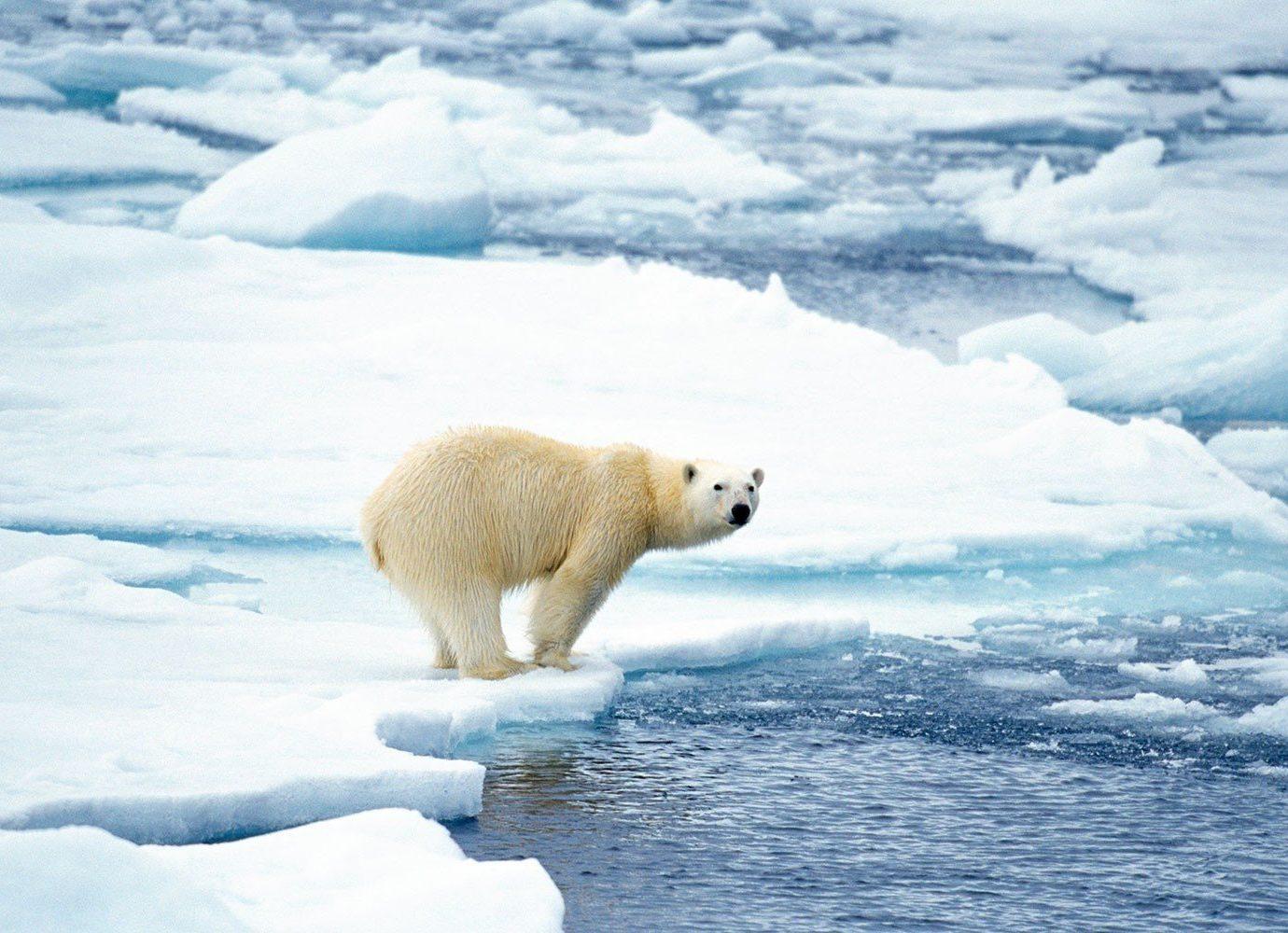 Cruise Travel Trip Ideas snow outdoor polar water arctic bear mammal animal vertebrate natural environment arctic ocean polar bear tundra ice Nature ice cap