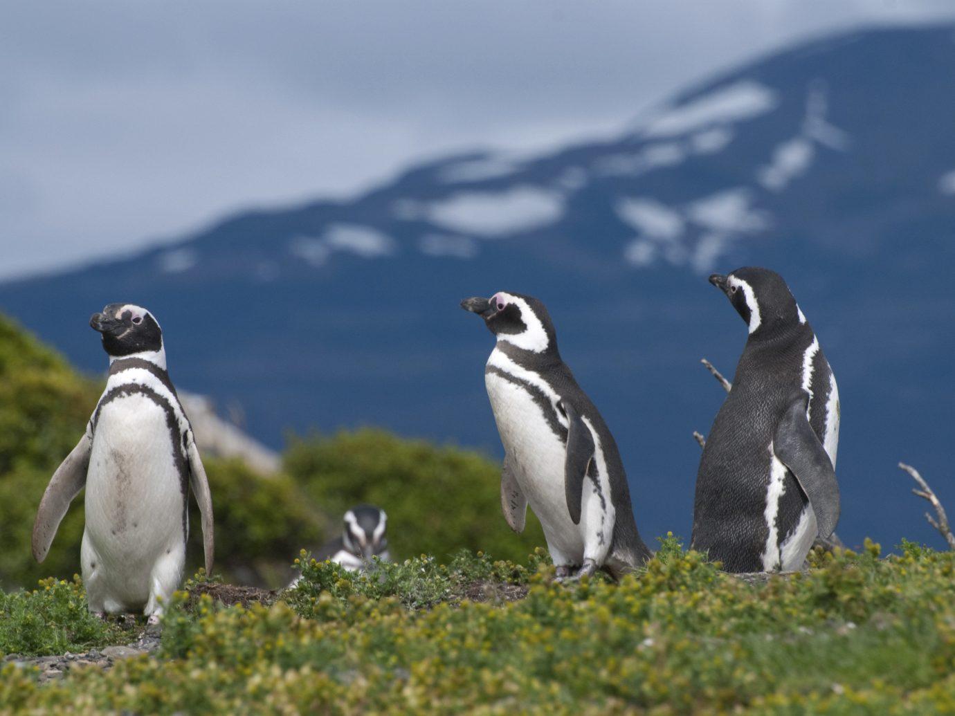 Trip Ideas outdoor Bird animal aquatic bird grass penguin flightless bird vertebrate standing fauna Wildlife hillside