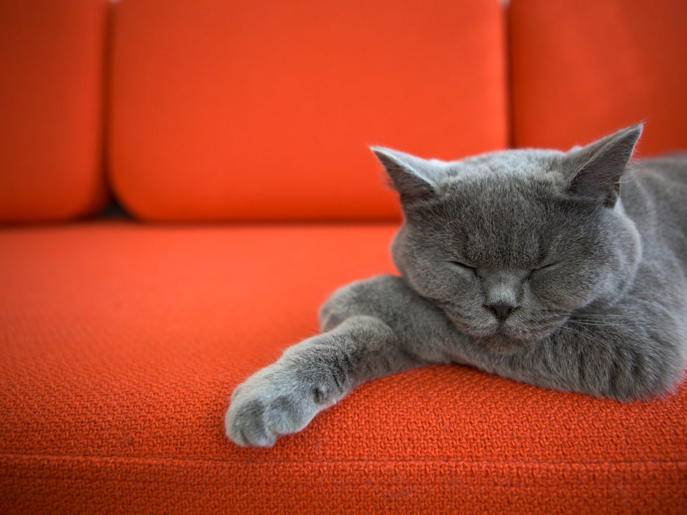 Hotels cat sofa indoor sitting grey gray mammal vertebrate whiskers british shorthair orange cat like mammal small to medium sized cats red chartreux laying kitten domestic short haired cat russian blue seat domestic cat