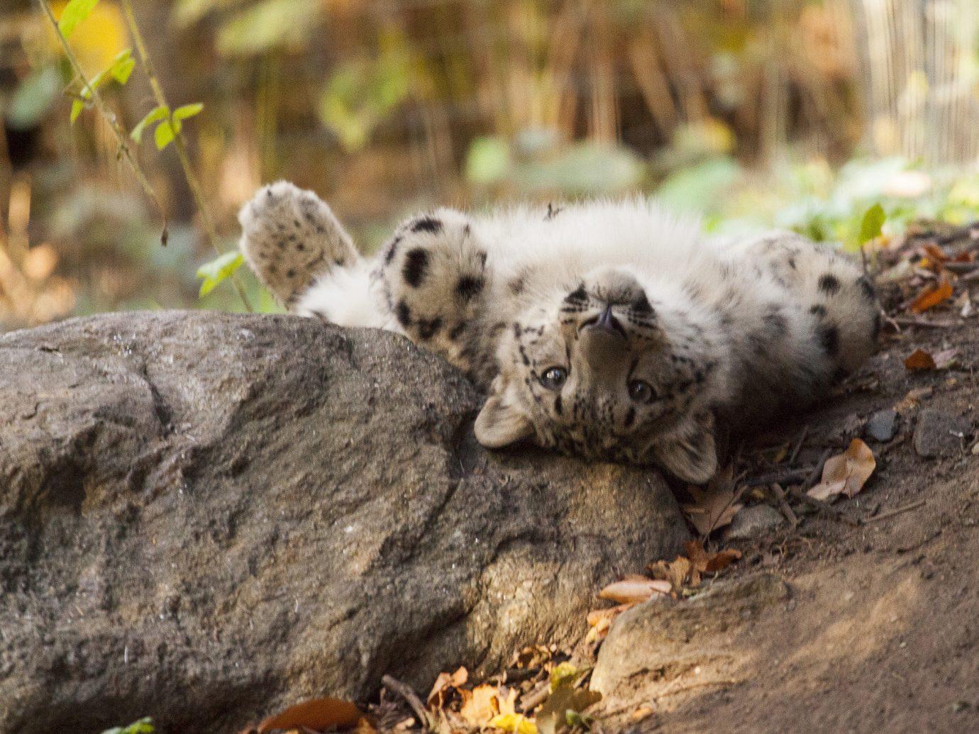 Budget outdoor grass animal mammal vertebrate Wildlife fauna snow leopard