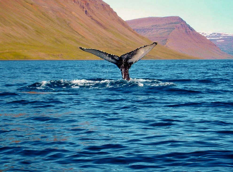 Iceland Travel Tips water outdoor sky mountain mammal vertebrate marine biology marine mammal whales dolphins and porpoises animal Sea Ocean aquatic mammal humpback whale whale dolphin wave day