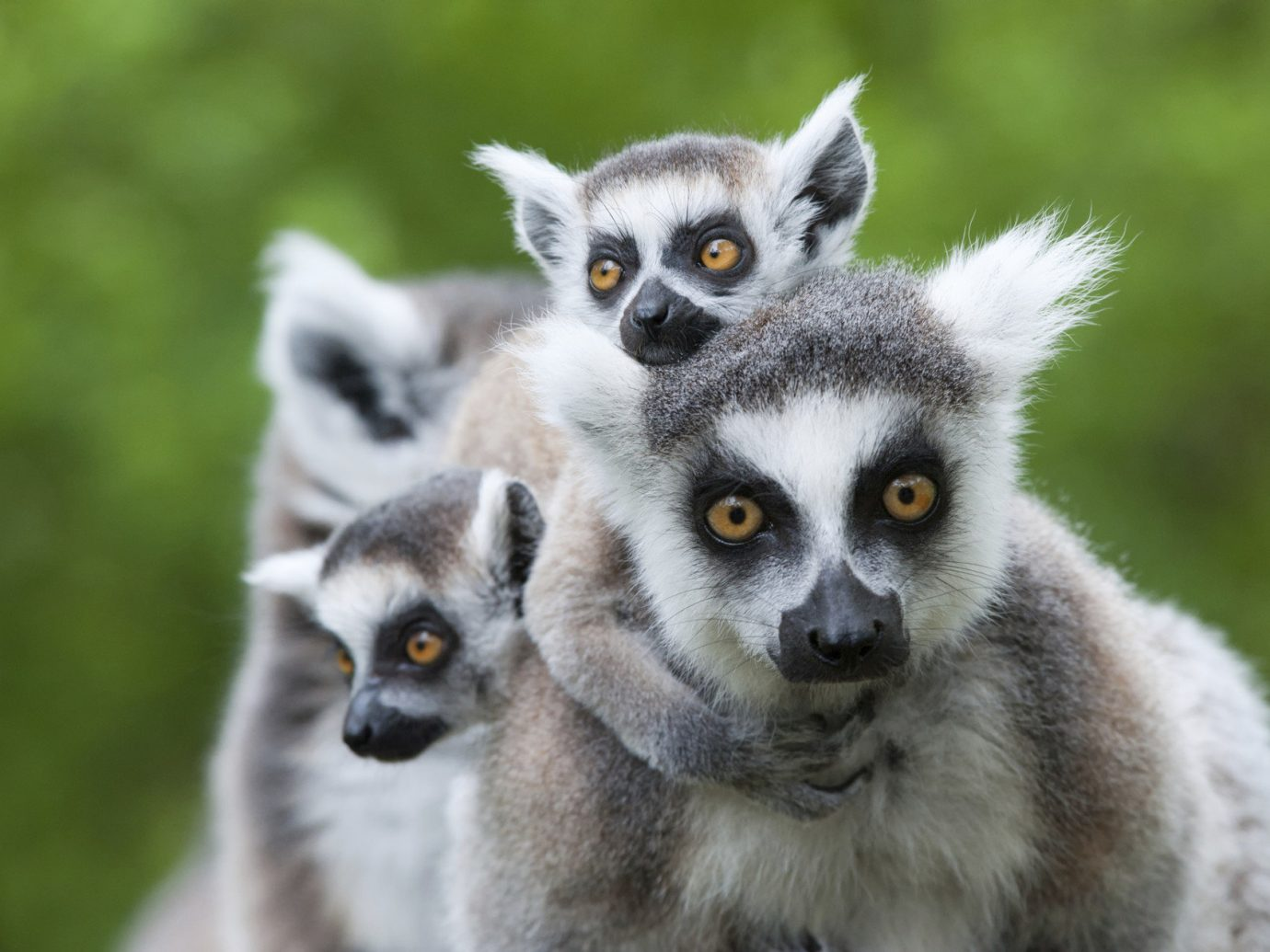 Trip Ideas mammal animal lemur vertebrate primate Wildlife fauna langur squirrel monkey pygmy slow loris new world monkey close bassarisk