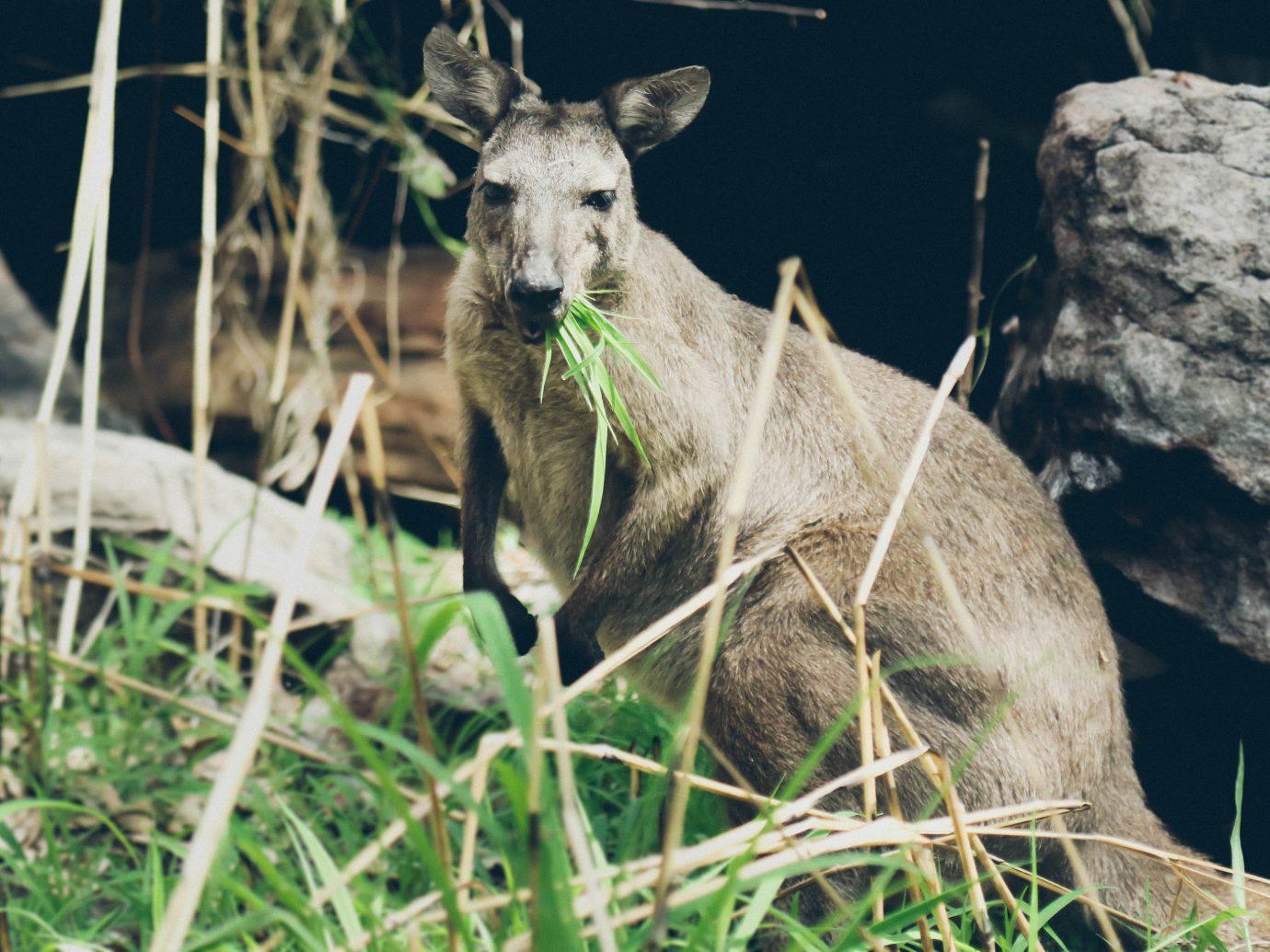 Trip Ideas animal outdoor mammal grass Nature Wildlife fauna kangaroo deer white tailed deer marsupial macropodidae zoo hillside