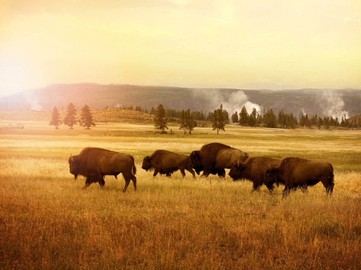 National Parks Outdoors + Adventure Trip Ideas grass outdoor sky cow field grazing habitat herd standing pasture grassland atmospheric phenomenon brown natural environment plain fauna ecosystem cattle like mammal prairie Wildlife savanna morning group steppe cattle grassy meadow bison cloudy clouds lush day colored