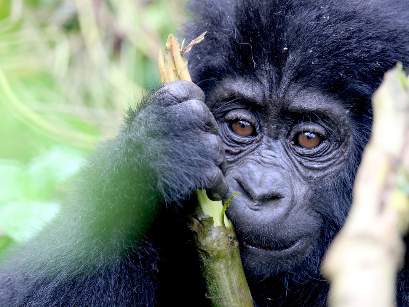 africa Trip Ideas primate animal mammal ape great ape western gorilla black fauna Wildlife organism terrestrial animal common chimpanzee green snout grass chimpanzee plant eyes close
