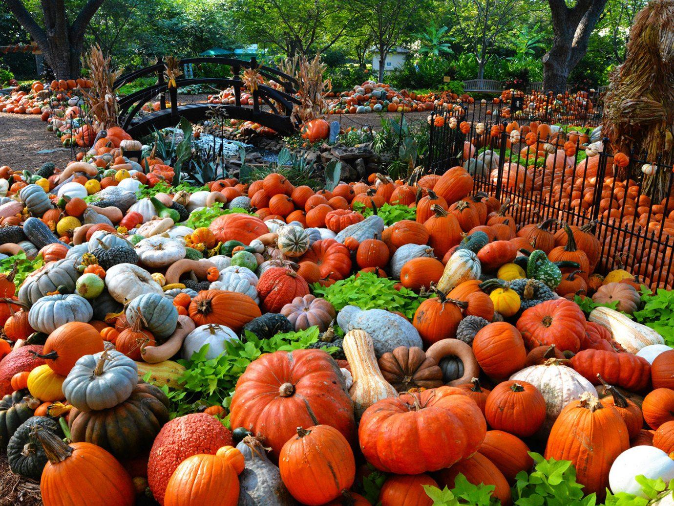 Trip Ideas tree outdoor fruit pumpkin squash calabaza produce winter squash autumn vegetable flower cucurbita gourd lined line arranged sale