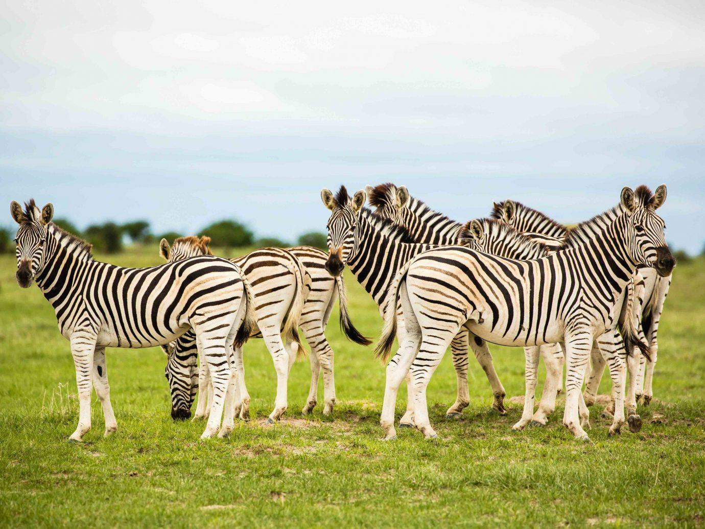 Outdoor Activities Trip Ideas grass zebra outdoor field sky Wildlife grassland mammal terrestrial animal animal ecosystem fauna savanna herd Safari grassy group grazing organism plain pasture quagga ecoregion horse like mammal lush giraffe