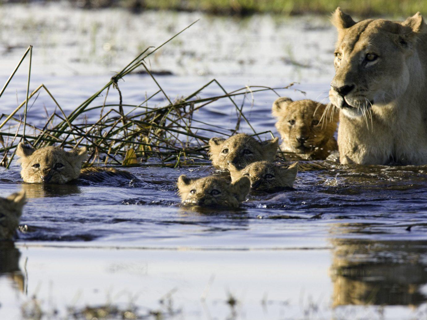 Trip Ideas animal outdoor grass big cat mammal vertebrate Wildlife Lion fauna big cats cat like mammal