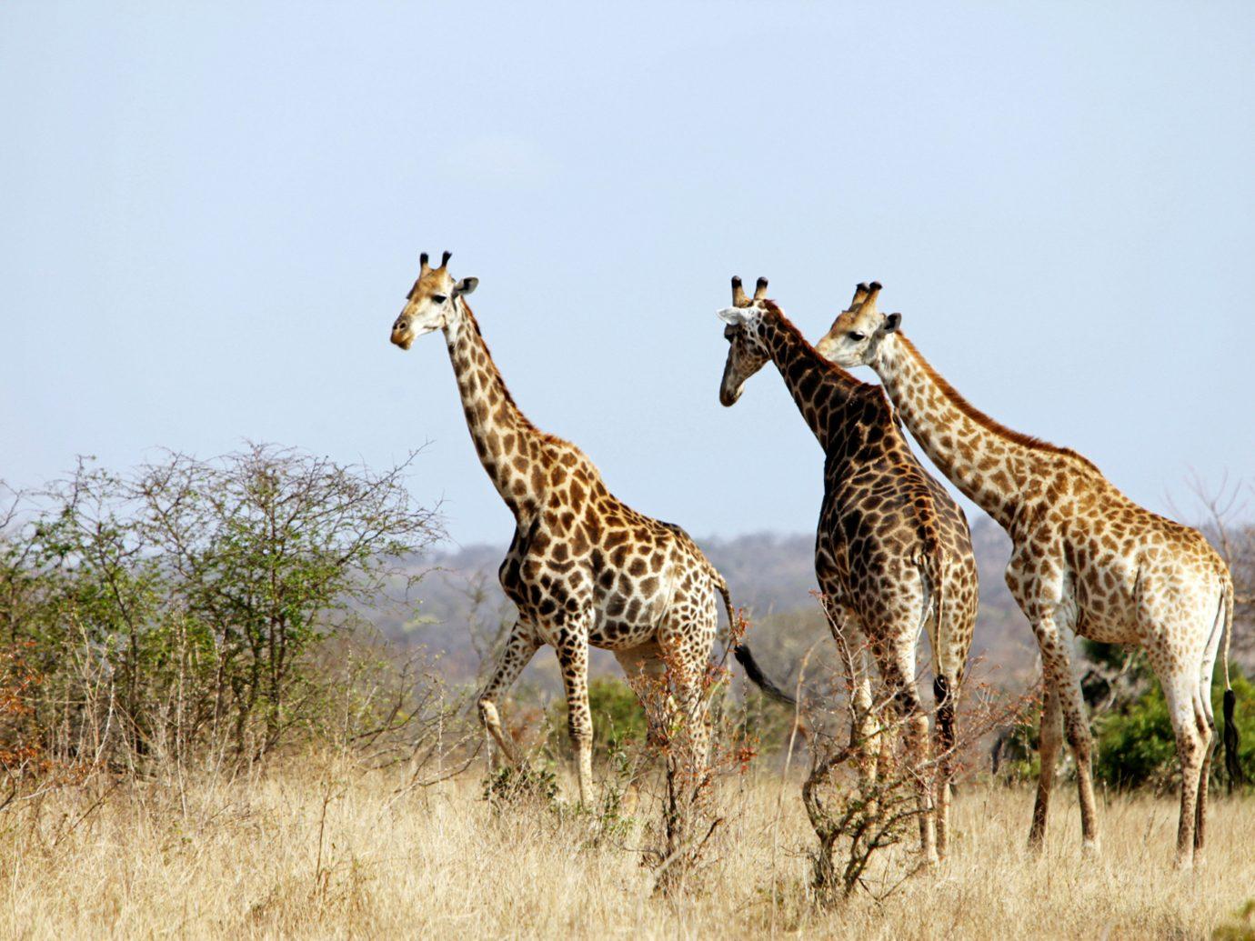 Hotels Trip Ideas outdoor grass sky giraffe mammal animal field Wildlife giraffidae fauna savanna grassy Safari Adventure grassland dry wild