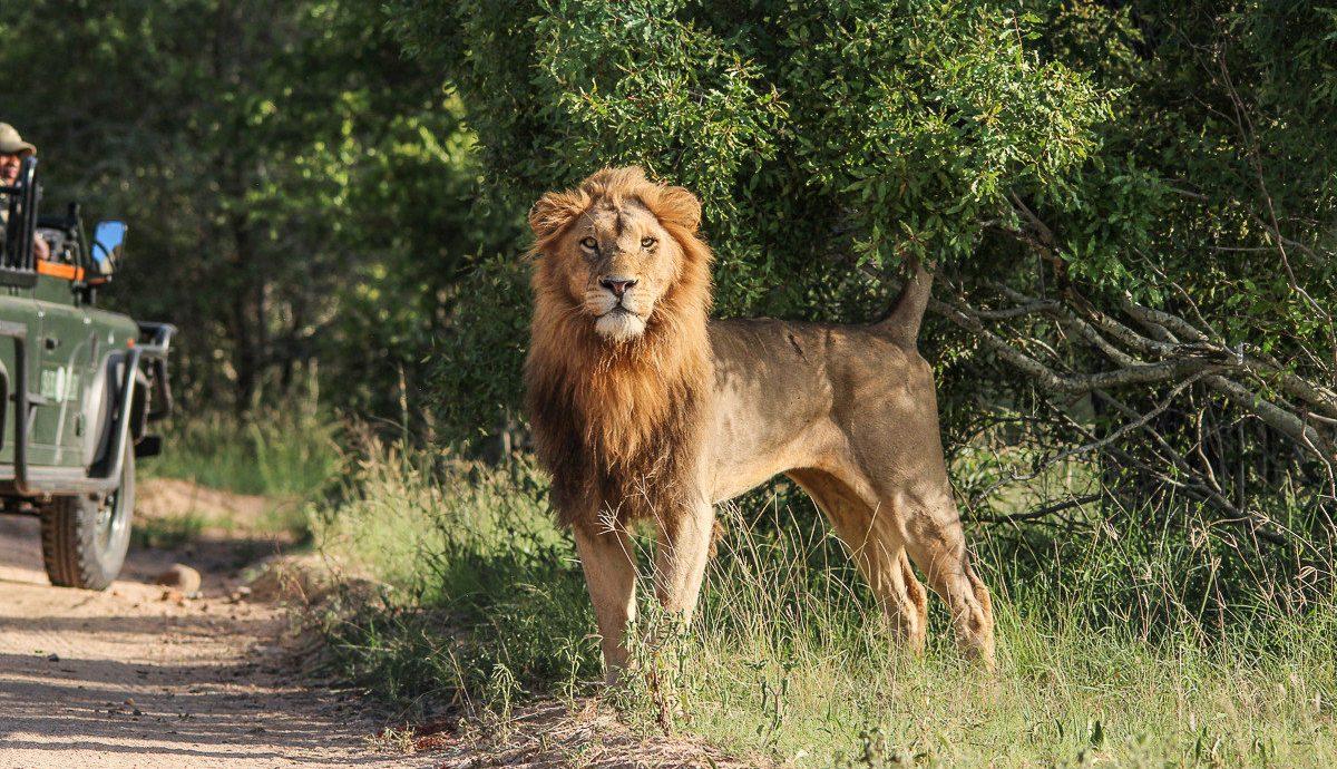 Offbeat Safaris tree outdoor Dog mammal vertebrate animal big cat dog like mammal Lion dirt Forest wooded