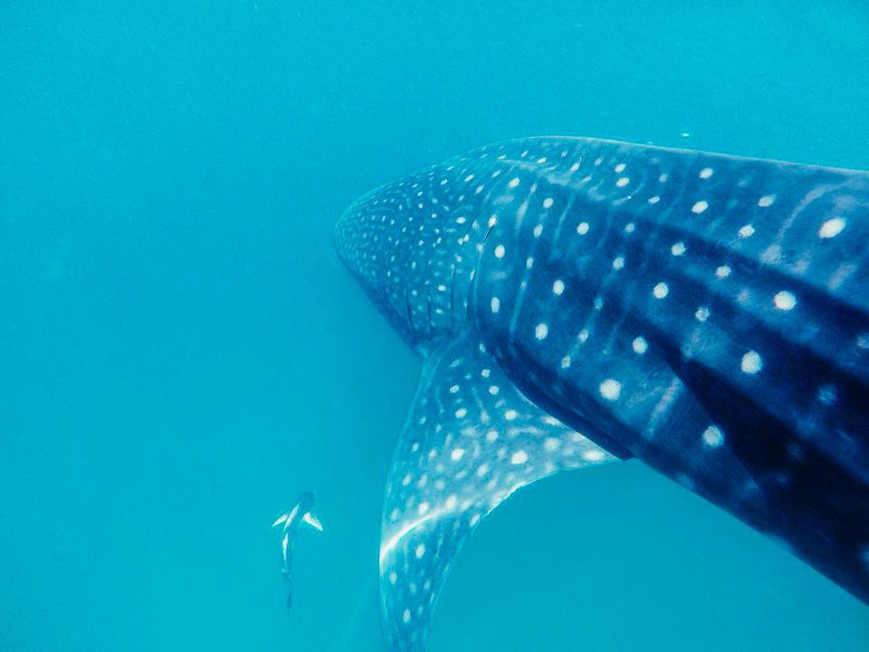 Trip Ideas water blue fish animal marine biology fin underwater organism cartilaginous fish shark Sea