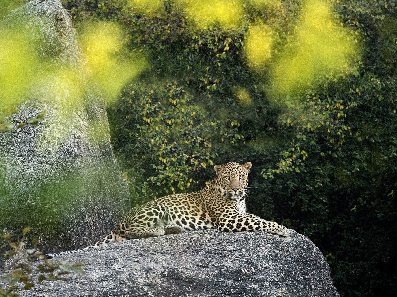 Hotels Safari big cat outdoor animal Nature mammal leopard Wildlife fauna cat like mammal Jungle sunlight woodland