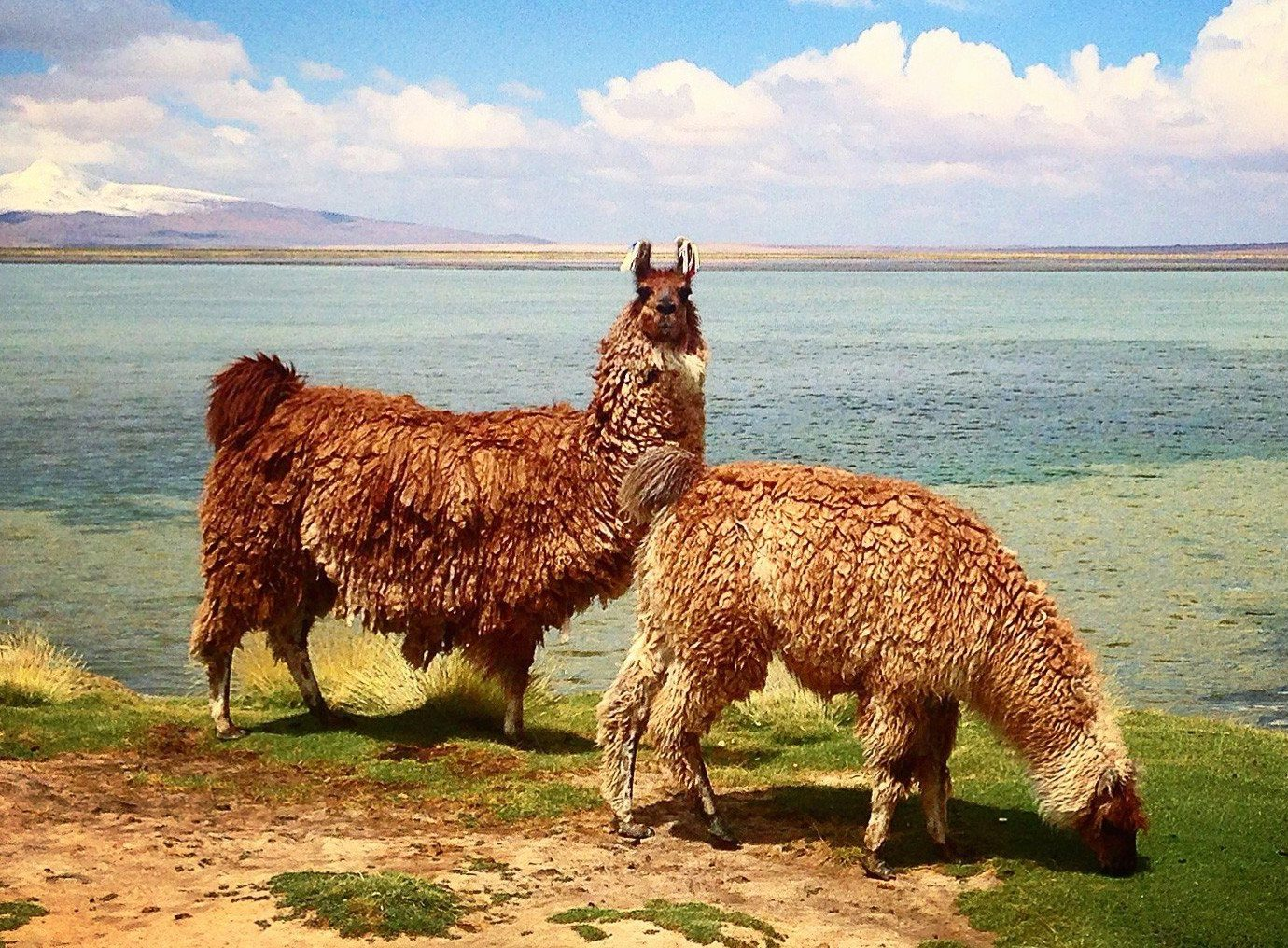 Outdoors + Adventure sky water outdoor grass mammal animal vertebrate camel like mammal fauna pasture llama brown alpaca grassland grazing prairie