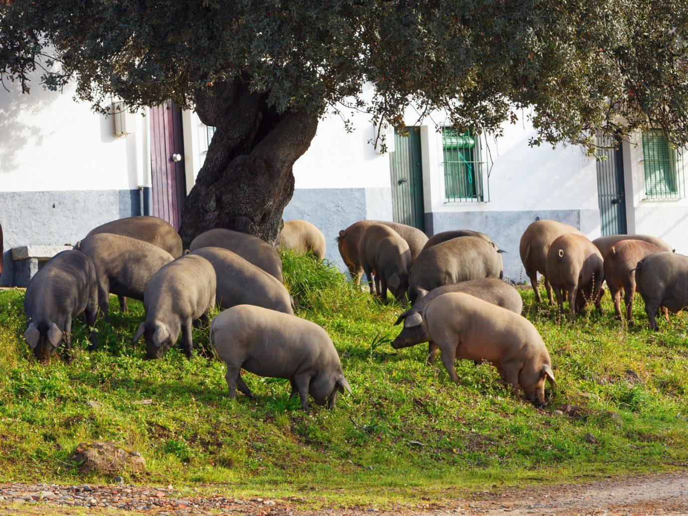 Road Trips Trip Ideas tree grass outdoor mammal fauna Wildlife herd grazing elephant Farm elephants and mammoths group