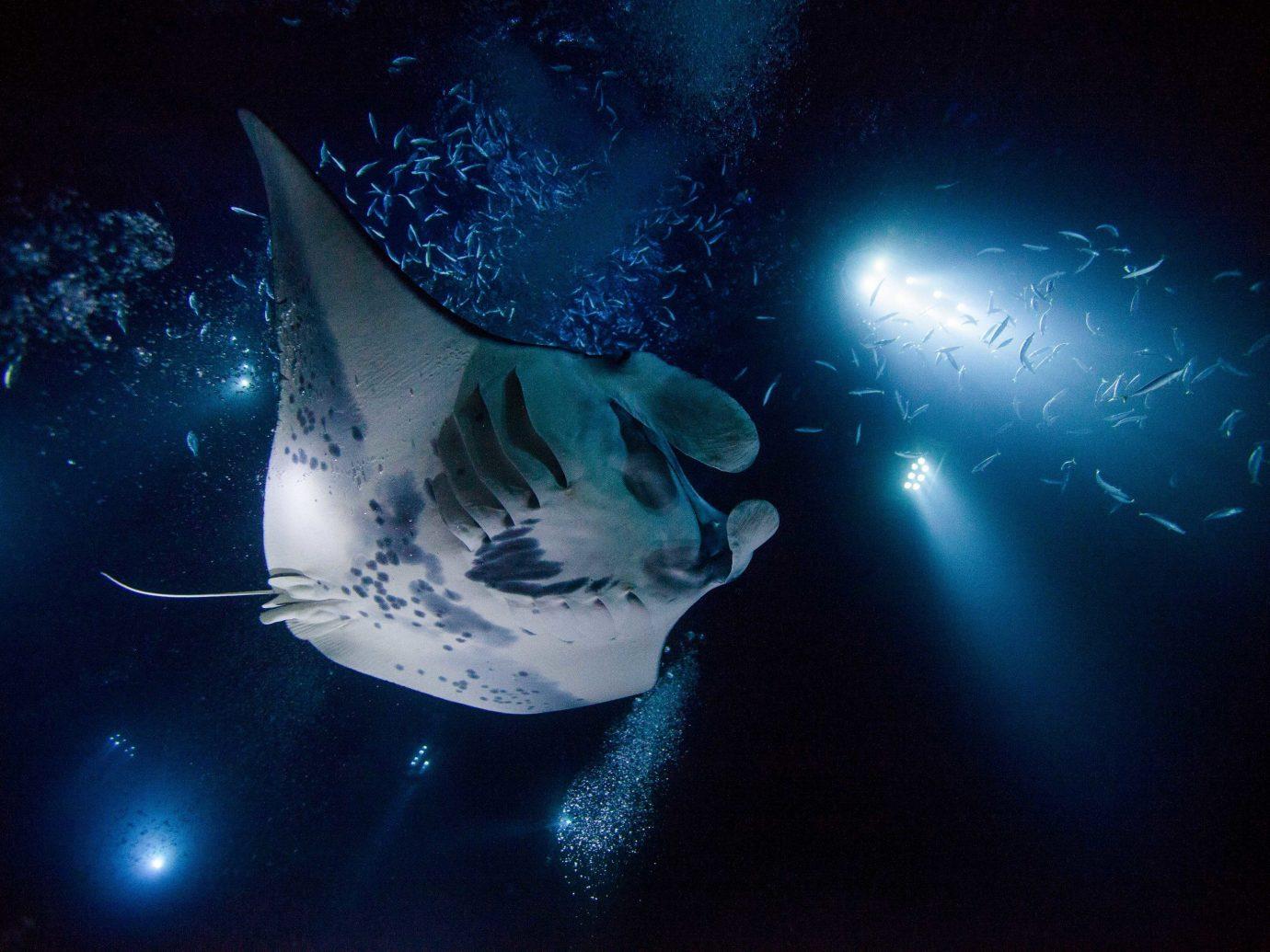 Kona Coast Trip Ideas ray fish animal marine biology rays and skates cartilaginous fish organism stingray manta ray computer wallpaper shark earth tiger shark requiem shark space darkness deep sea fish great white shark dark