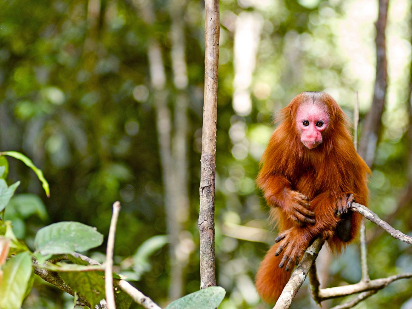 Jungle Natural wonders Nature Outdoor Activities Outdoors Scenic views Travel Tips Wildlife tree outdoor animal mammal primate vertebrate fauna new world monkey flora botany Forest monkey macaque leaf flower branch old world monkey woodland rainforest autumn