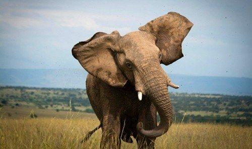 Style + Design grass outdoor sky indian elephant elephant field animal mammal african elephant savanna elephants and mammoths fauna Wildlife mountain grassland Safari Adventure plain open sheep dry day