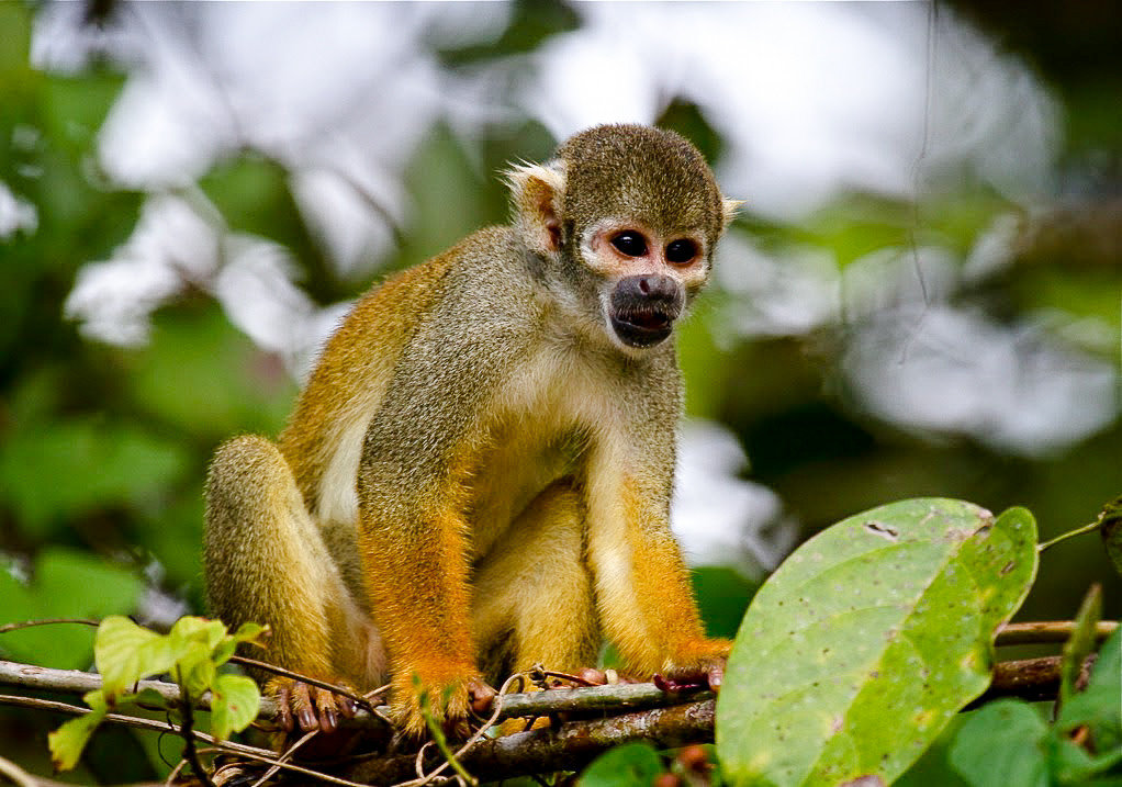 Travel Tips animal mammal primate squirrel monkey fauna monkey new world monkey leaf Wildlife organism terrestrial animal tree macaque old world monkey snout