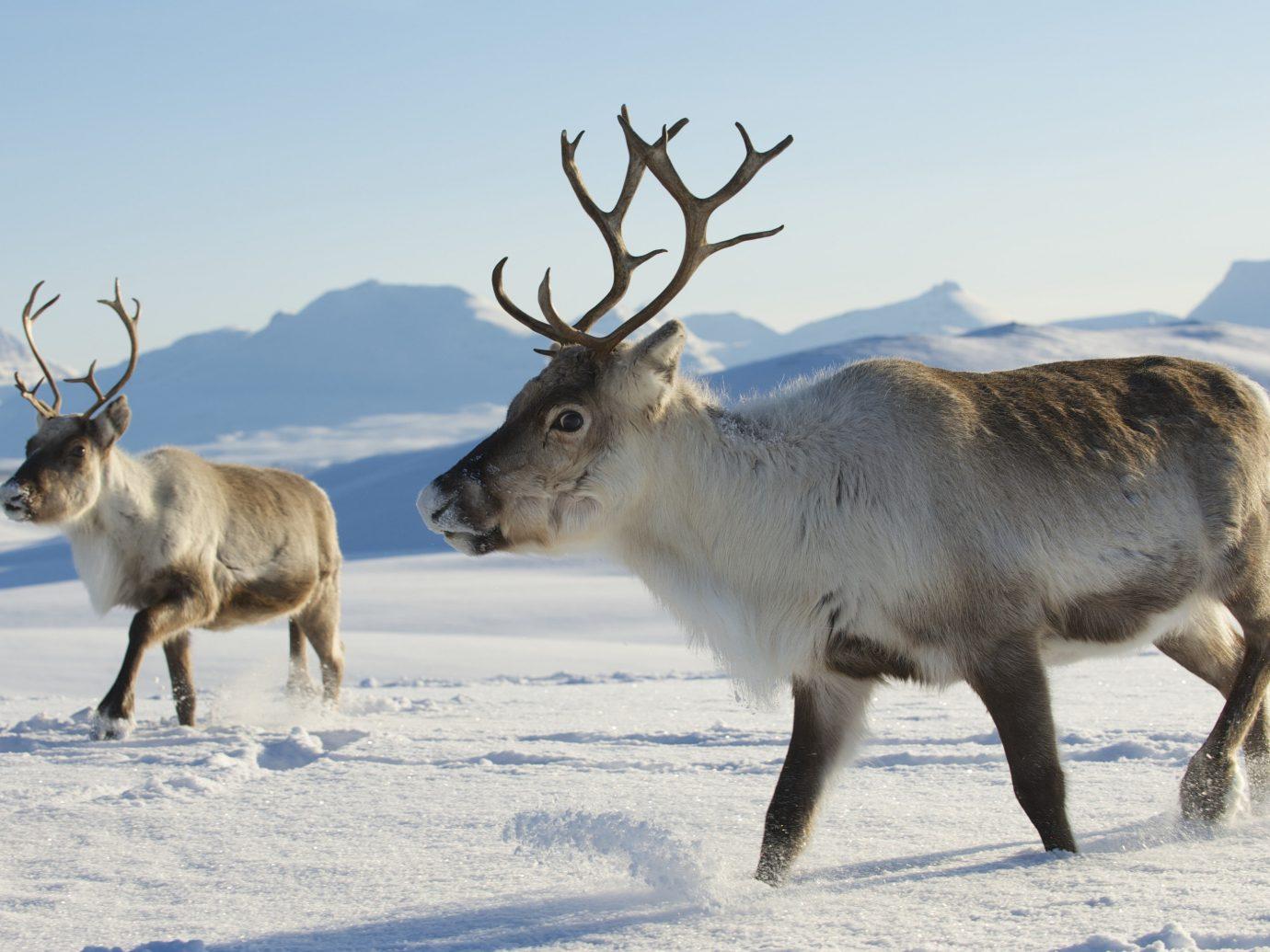 Adventure Boutique Hotels Romance Trip Ideas sky animal outdoor mammal deer reindeer Wildlife snow tundra freezing elk arctic Winter cattle like mammal antler cattle day
