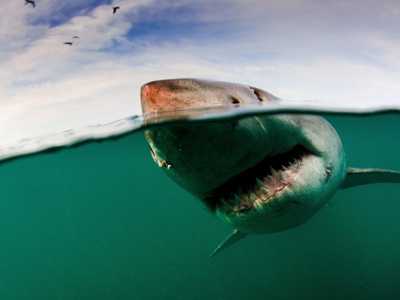 Trip Ideas sky animal water fish green shark great white shark lamniformes marine biology cartilaginous fish organism fin lamnidae underwater