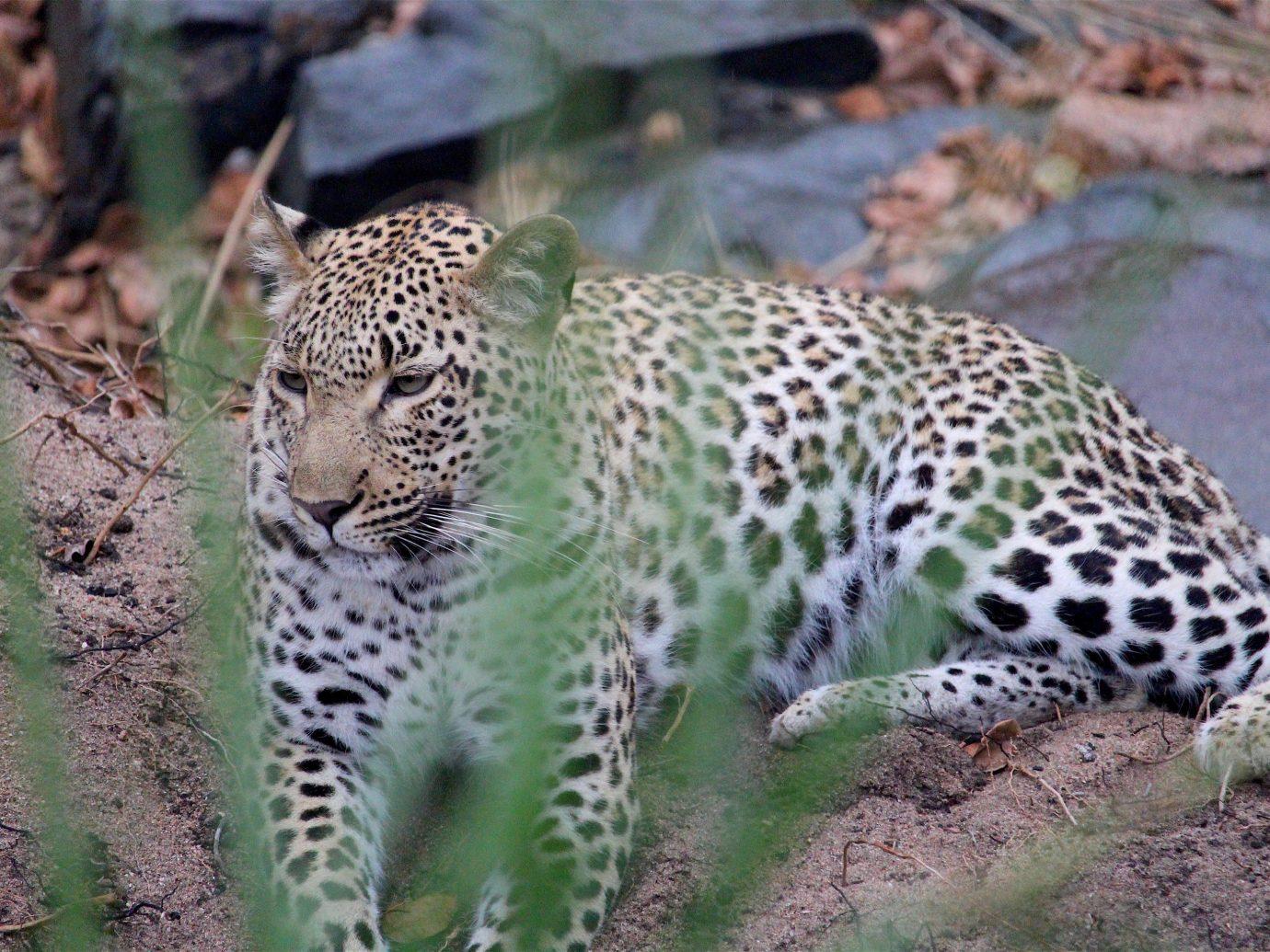 Outdoors + Adventure Safaris Trip Ideas ground big cat outdoor animal mammal leopard vertebrate Wildlife fauna jaguar cat like mammal cheetah big cats dirt zoo