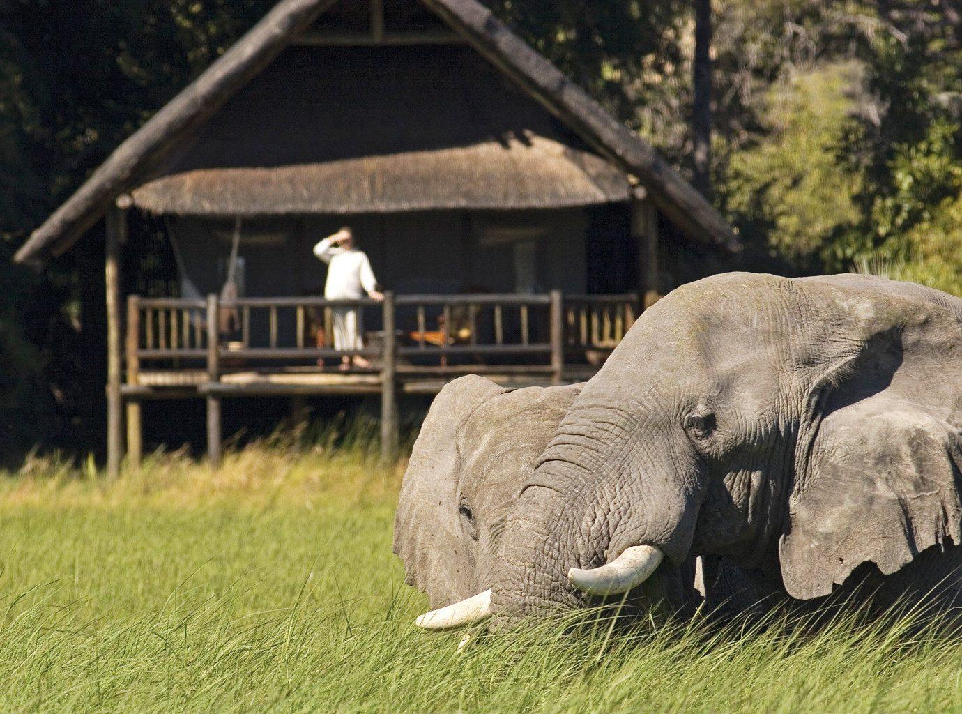 Jungle Lodge Natural wonders Outdoor Activities Outdoors Safari Scenic views grass tree animal elephant mammal indian elephant field Wildlife fauna elephants and mammoths zoo Adventure recreation trunk