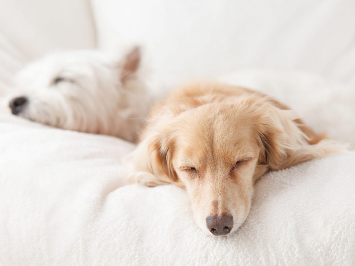 Hotels Dog indoor laying white mammal vertebrate dog breed animal puppy bed dog like mammal