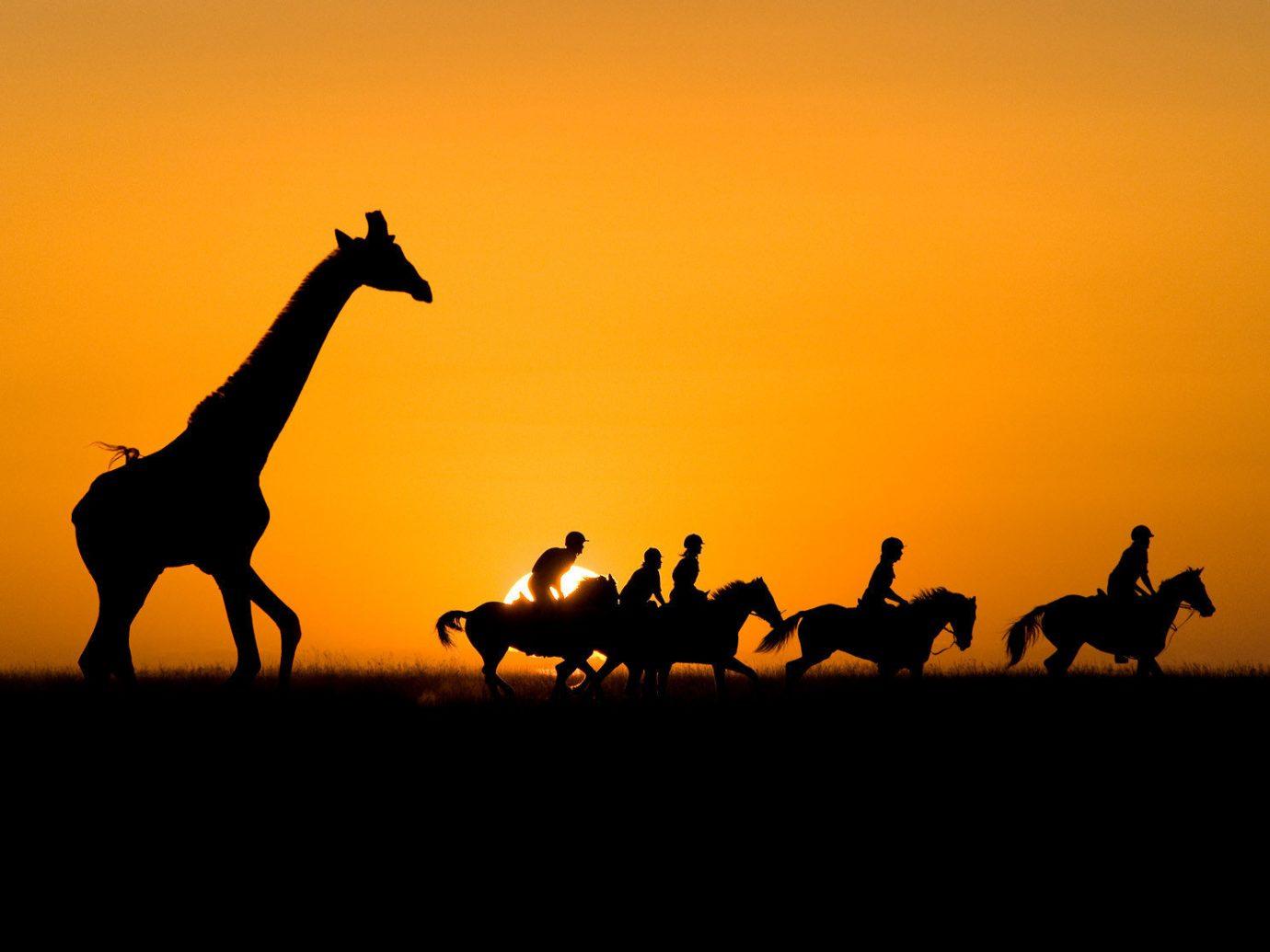 Trip Ideas sky outdoor Camel mammal giraffe natural environment silhouette savanna Sunset morning giraffidae camel like mammal plain sunrise dusk horse