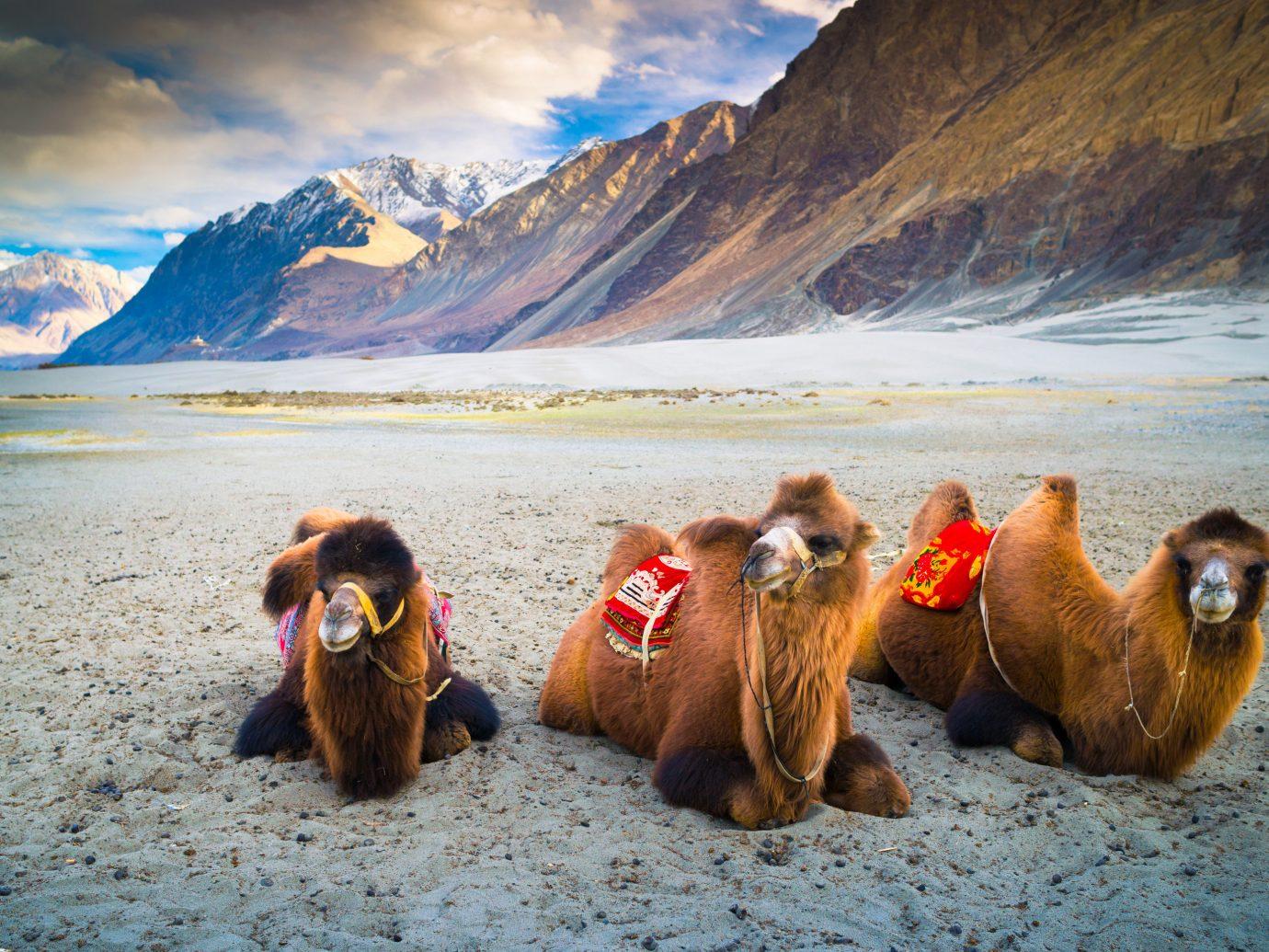 India Jaipur Jodhpur Trip Ideas mountain outdoor ground wilderness mammal mountainous landforms animal sky arctic ecoregion Camel camel like mammal landscape tundra llama highland