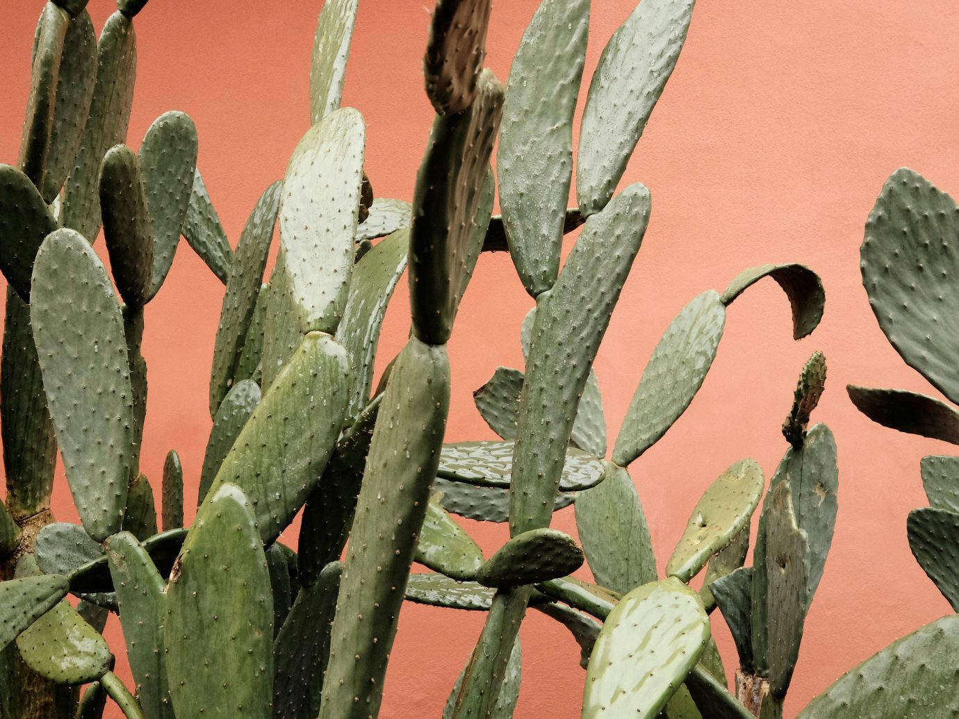 Style + Design cactus Nature plant flora flower botany land plant flowering plant hedgehog cactus leaf nopal prickly pear thorns spines and prickles barbary fig caryophyllales plant stem